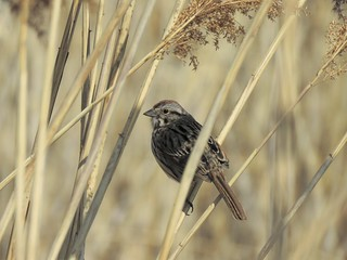 song sparrow - bruant chanteur
