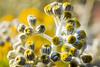 Silver Flower buds OR Dusty Miller/ Silver Ragwort-Macro (Photonistan) Tags: whiteleaves silver 7dwf flower macro yellow white beautiful tiny photonistan nikon 7100 40mm 28 festival flowerfestival