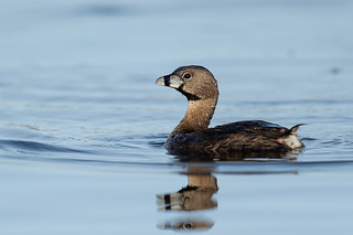 Pied-billed Grebe-47817.jpg