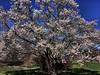 Arnold Aboretum (hbp_pix) Tags: hbppix harry powers arnold arboretum spring blossons