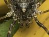 Famille Phalangiidae - Odiellus pictus (détail) (Répertoire des insectes du Québec) Tags: arachnide araignée arachnida macro quebec spider