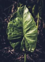 Arrowhead. (Pablin79) Tags: botanical flora succulent plant green spring closeup leaf lines light colors posadas misiones argentina dof alocasiamacrorrhiza shadows reflections