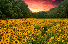 Take a Walk With Me (ozoni11) Tags: flower flowers sunflowers sunflower mckeebeshers sunset sunsets nature landscape landscapes michaeloberman maryland ozoni11