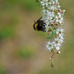 hanging out - explored (quietpurplehaze07) Tags: white arboretum bee macro flowers explored