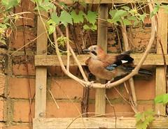 Having a swing (~ **Barbara ** ~) Tags: bird blue jay wildbird garden hampshire uk noisy canon7dii