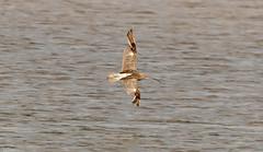 Curlew on the wing (Steve (Hooky) Waddingham) Tags: bird british countryside coast nature northumberland flight photography wild wildlife wader