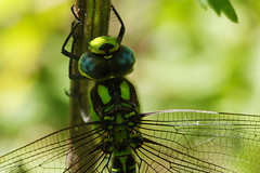 Southern Hawker Dragonfly on Titchfield Canal, Hampshire, UK (Art-G) Tags: insect dragonfly southernhawker titchfieldcanal titchfield hampshire uk canon eos7dmkii tamron90mmucvsd