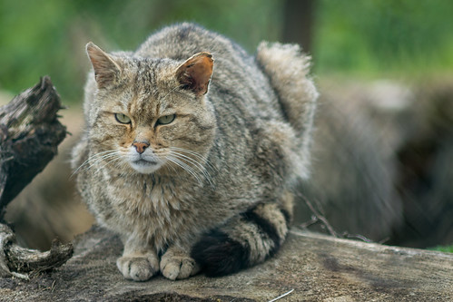 Wild Cat II
