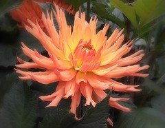 Dahlia cactus (mamietherese1) Tags: world100f ngc earthmarvels50earthfaves
