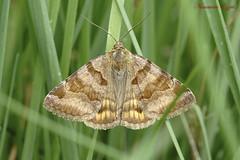 Doublure jaune  Euclidia glyphica L.   (1) (Ezzo33) Tags: doublure jaune euclidia glyphica france gironde nouvelleaquitaine bordeaux ezzo33 nammour ezzat sony rx10m3 parc jardin papillon papillons butterfly butterflies specanimal