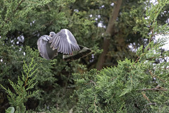 Cloak (Hemzah Ahmed) Tags: pigeon pigeons woodpigeon flight wing wings inflight bird birds outdoor outdoors animal creature nature creatures beautiful trees grey green canon100400mm canon100400mmf4556lisiiusm