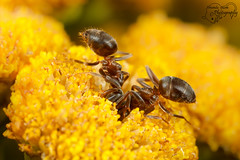 Two ants (Amanda Blom Photography) Tags: ant ants mier mieren nature natuur naturelover naturepicture naturephotographer naturephoto natuurfoto naturephotography natureptohography naturelove macro macrophotography macrophoto macroworld yellow closeup canon canonphoto