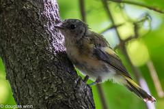 American Redstart (Douglas M. Winn) Tags: songbird warbler americanredstart fortsnelling fledgling setophagaruticilla