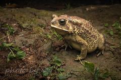 Asian Common Toad (Duttaphrynus melanostictus) (peter soltys) Tags: peter soltys adventure macro photography wildlife canon herping west java bogor malaysia asian common toad duttaphrynus melanostictus amphibian