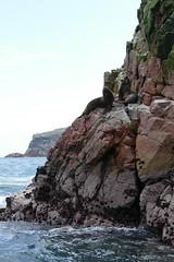 Fur Seal Mähnenrobbe Islas Ballestas Paracas Peru (roli_b) Tags: fur seal mähnenrobbe robee islas ballestas paracas peru nature animal landscape