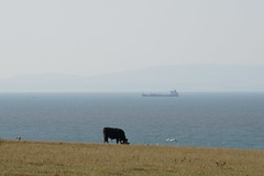 Cow and the Bristol Channel (Bill Boaden) Tags: llantwitmajor glamorgan southwales walescoastpath cow