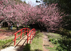Cross the bridge! (Arlete M) Tags: sakura cerejeirasemflor camposdojordãosp brasil brazil pinkflowers bridge ponte winter inverno