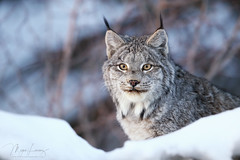 Elusive No More (Megan Lorenz) Tags: canadalynx canadianlynx lynx cat feline wildcat animal mammal nature wildlife wild wildanimals snow winter northernontario ontario canada mlorenz meganlorenz