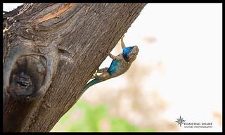 (Explored) Clark's Spiny Lizard ©Dancing Snake Nature Photography