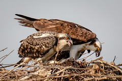 Feeding the Chicks (tresed47) Tags: 2018 201807jul 20180718newjerseybirds birds canon7dmkii content ebforsythenwr folder july newjersey osprey peterscamera petersphotos places season summer takenby us ngc