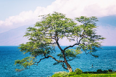 You've Been on My Mind (Thomas Hawk) Tags: america hawaii maui usa unitedstates unitedstatesofamerica wailea tree kihei us fav10 fav25 fav50 fav100