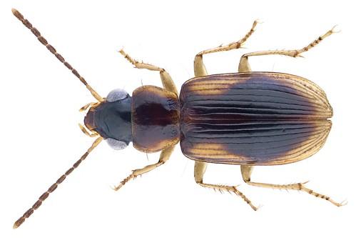 Stenolophidius posticalis (Putzeys, 1880)