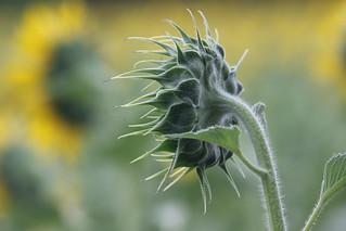 Sunflower(Start to Bloom)