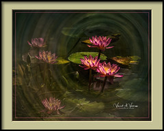 Water Lily Lunacy (Visions by Vincent) Tags: flowers fantasticnature topaz texture