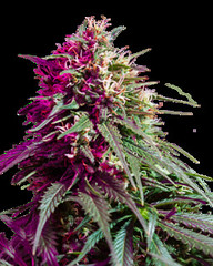 purplekush (Watcher1999) Tags: purple kush cannabis seeds marijuana thc strains indica california medical bob marley growing weed smoking reggae ganja legalize it