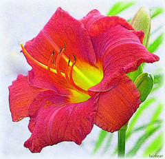street lily (milomingo) Tags: nature plant lily daylily closeup multicolored red yellow green grain texture photoart a~i~a bloom blossom petal garden outdoor mygarden bright vivid vibrant illustrated floral cmwd cmwdred
