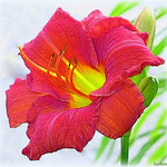 street lily thumbnail