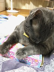 On Top of Naomi's Manga (sjrankin) Tags: 20july2018 edited closeup animal cat yuba manga magazine blanket futon bedroom kitahiroshima hokkaido japan