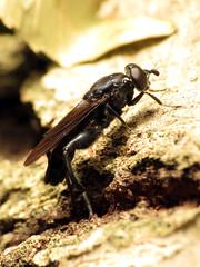 Blue Wasp-mimic Fly