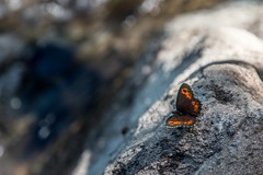 Butterfly (morganelafond) Tags: