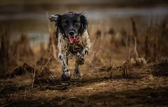 Springer Spaniel (neil 36) Tags: springer spaniel dog running happy outdoors water spray pet nikon d7200 nikor 300mm actionshot dof light shade