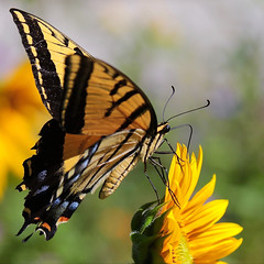 Just ..... a pretty butterfly and flower (Parowan496) Tags: