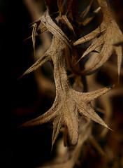 Thistle leaf drying up (christiane.grosskopf) Tags: thistle distel vertrocknet dryingup mummified plant pflanze decay macro macromondays entwined 7dwf crazytuesdaytheme