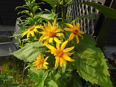 Topinamburblüten (Sophia-Fatima) Tags: mygarden meingarten naturgarten gardening gemüsegarten küchengarten veggarden topinambur