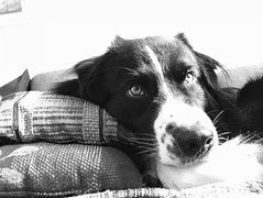 Rian (unbunt.me) Tags: iphone aussie hund australianshepherd blackwhite bw dog hoffnungs blackandwhite