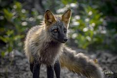 Red Fox (jt893x) Tags: 150600mm d500 fox jt893x nikon nikond500 redfox sigma sigma150600mmf563dgoshsms vulpesvulpes alittlebeauty coth thesunshinegroup coth5