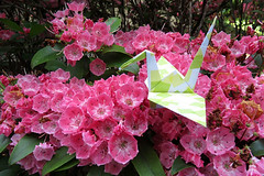 Paper Crane and Kalmia (Eridanus 21) Tags: ツルとカルミア kalmia origami おりがみ ツル 折り紙 折り鶴 カルミア paper origamiphoto 花 flower 花写真 flowerphotoカルミア papercrane flowerphoto 花が好き