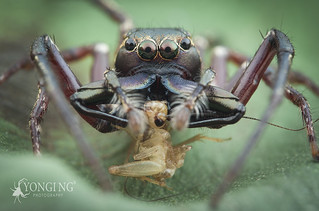 Super Wide-Jawed Pristobaeus Male sp. with prey