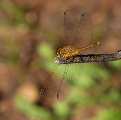 Autumn Meadowhawk (explore 8/11/18) (vischerferry) Tags: dragonfly odonata bokeh newyorkstate autumnmeadowhawk meadowhawk