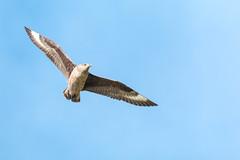 Great Skua in flight (ejwwest) Tags: hebrides skua atlantic scotland islands northatlantic birds stercorariusskua hirta stkilda wildlife bonxie unitedkingdom gb