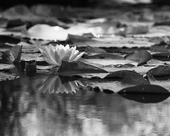 Water Lily (RW Sinclair) Tags: 14 200 200mm chicago il ilce ilce7m2 illinois minolta rokkor rokkorx tele telephoto x a7 a7ii digital f4 flower flowers mk2 sony blackandwhite bnw bw monochrome lily pond pool lake water bloom blossom pad