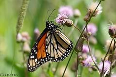 Hang On Tight (flipkeat) Tags: butterfly monarch papillon farfalle closeup insect entomology portcredit awesome nature danaus plexippus a77ii