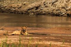 Tanzania48 (Massimo Equestre'pictures) Tags: africa tanzania leone zebra safari giraffa serengeti