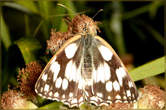 Marbled White butterfly (2) (bobspicturebox) Tags: himalayan balsam lady bird bugs slow worm musk beetle potato capsid shield bug larva snail fungus