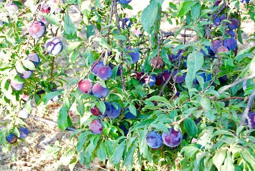 Cretan Plums, Siva, Crete