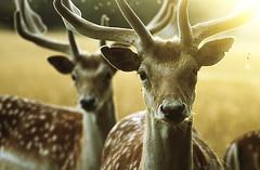 Bucks at Sunset (andy_AHG) Tags: wildlife spring stag fallowdeerbuck antlers animals nikond300s yorkshire grass animal field mammal tree